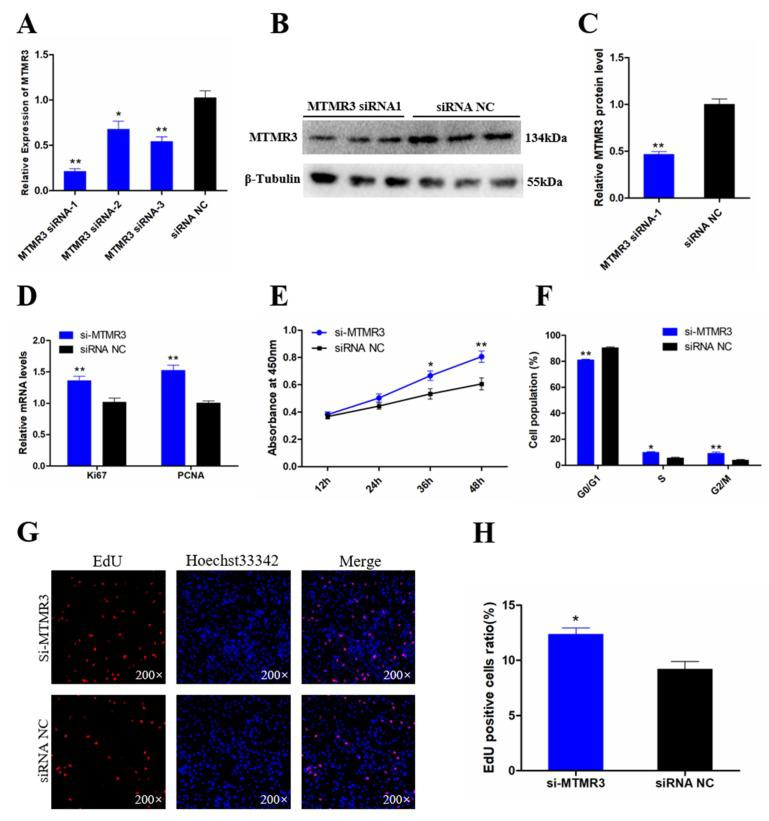Knockdown MTMR3 facilitates chicken SMSCs proliferation. ( A ) The knockdown efficiency of MTMR3 gene in SMSCs by three small interfering RNAs (siRNAs) were detected by qRT-PCR. ( B , C ) The protein expression level of MTMR3 after interference by MTMR3-siRNA1 was detected by Western blotting. ( D ) The mRNA levels of cell proliferation-related genes were detected by qRT-PCR in SMSCs after MTMR3 knockdown. ( E ) CCK-8 assays for SMSCs after MTMR3 knockdown. ( F ) The statistical results of cell cycle analysis for SMSCs after MTMR3 knockdown. ( G ) EdU staining after the transfection of MTMR3-siRNA1 in SMSCs. ( H ) Proliferation rates of chicken SMSCs following MTMR3 knockdown. Results are shown as mean ± SEM and the data are representative of at least three independent assays. Student's t -test were used to compare expression levels among different groups. * p