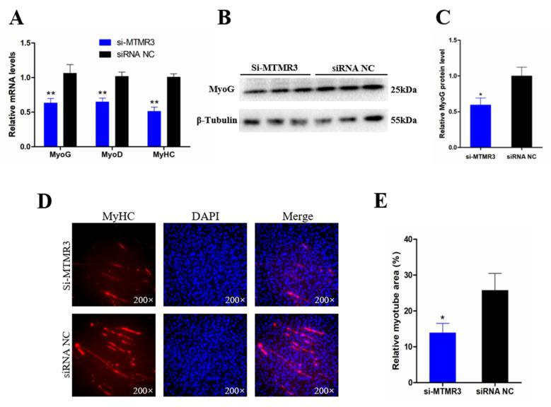 Knockdown MTMR3 represses chicken SMSCs differentiation. ( A ) The mRNA levels of muscle cell differentiation marker genes were detected by qRT-PCR in SMSCs after MTMR3 knockdown. ( B ) Western blotting results of MyoG in SMSCs after transfection with MTMR3 siRNA1. ( C ) The relative protein level of MyoG in SMSCs after inhibition of MTMR3. ( D ) MyHC immunofluorescence staining after the transfection of MTMR3 siRNA1 in SMSCs. ( E ) Relative myotube area of chicken SMSCs following MTMR3 knockdown. Results are shown as mean ± SEM, and the data are representative of at least three independent assays. Student's t -test were used to compare expression levels among different groups. * p