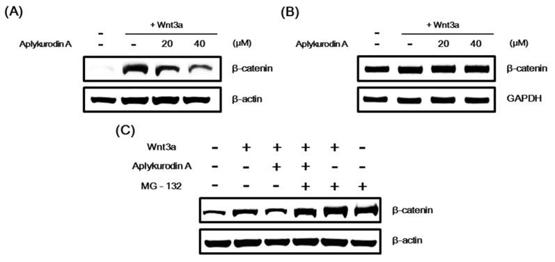 Aplykurodin A promotes proteasomal β-catenin degradation. ( A ) After treatment of HEK293-FL cells with either DMSO or aplykurodin A (20 and 40 μM) in the presence of Wnt3a-CM for 15 h, cytosolic proteins were analyzed by Western blotting with anti-β-catenin antibody. ( B ) After treatment of HEK293-FL cells with either DMSO or aplykurodin A (20 and 40 μM) in the presence of Wnt3a-CM for 15 h, semi-quantitative RT-PCRs for β-catenin and glyceraldehyde 3-phosphate dehydrogenase (GAPDH) were carried out with total RNA. ( C ) HEK293-FL reporter cells were treated with either DMSO or aplykurodin A (20 μM) and then exposed to MG-132 (10 μM) for 8 h. Cytosolic proteins were analyzed by Western blotting with anti-β-catenin antibody. ( A , C ) the blots were re-probed with anti-actin antibody. The results are representative of three independent experiments.