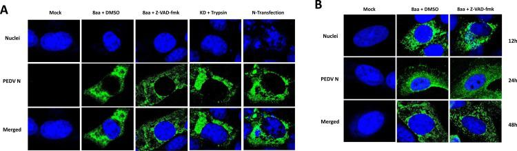 Subcellular localization of PEDV N protein in Vero cells. Vero cells were mock-infected or infected at MOI of 1 with PEDV 8aa with DMSO, 8aa with Z-VAD-fmk (100 μM) or KD with trypsin (1 µg/ml). For the expression of N protein, 24 h-old semi-confluent cells were transfected with pIRES-N-nHA, and cells were incubated at 37 °C for (A) 12 h (KD) or 36 h (8aa and N transfection), or (B)12, 24 or 48 h (8aa and 8aa with Z-VAD-fmk). Fixed and permeabilized cells were stained with anti-PEDV N monoclonal antibody (green) and SYTOX orange (Blue) and examined by confocal microscopy.