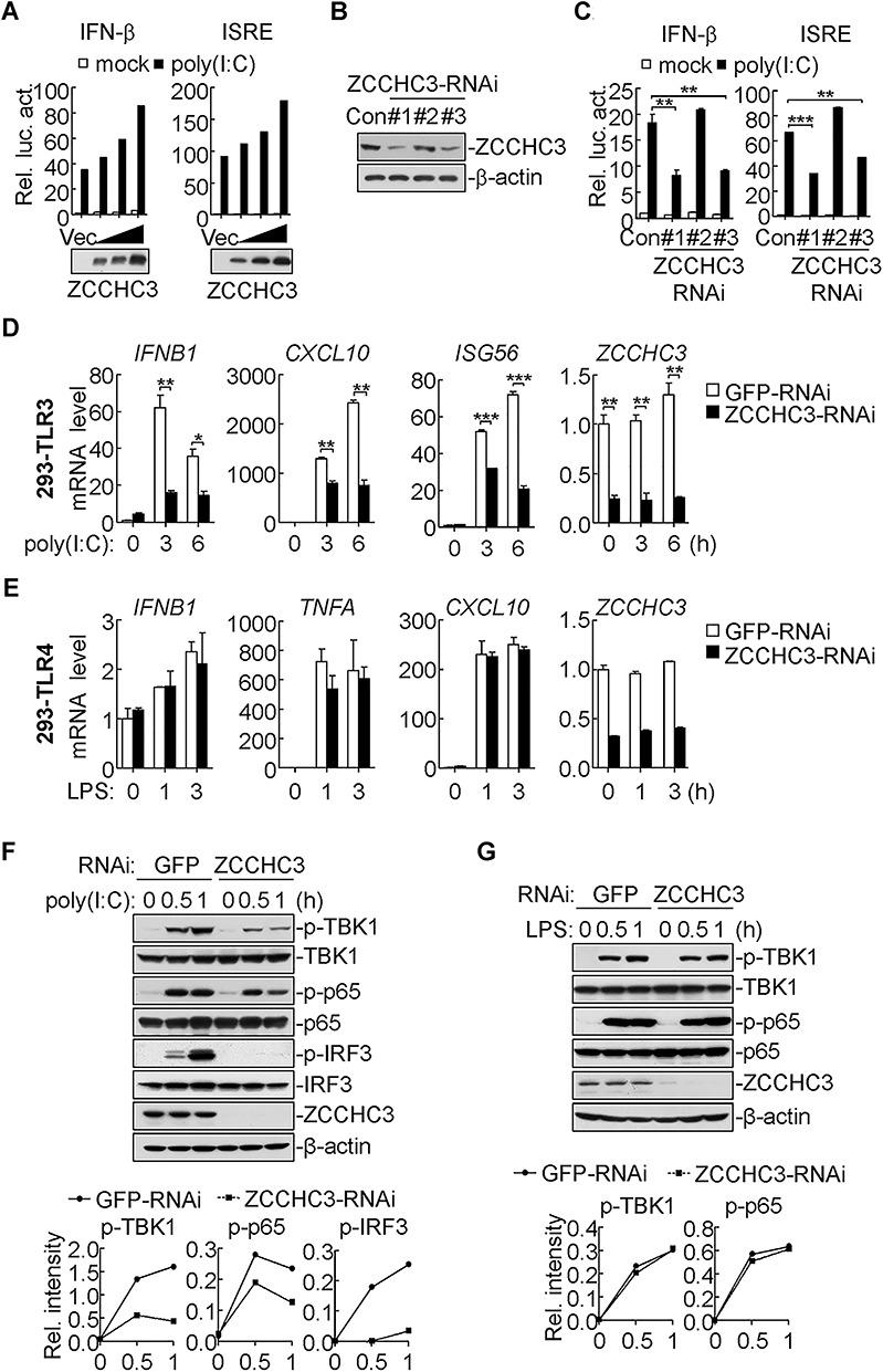 ZCCHC3 positively regulates poly(I:C)-triggered signaling. ( A ) ZCCHC3 promotes poly(I:C)-induced activation of the IFN-β promoter and ISRE in a dose-dependent manner. 293-TLR3 cells (1 × 10 5 ) were transfected with the IFN-β promoter or ISRE reporter plasmids (0.1 μg) and increased amounts of ZCCHC3 plasmids (5, 10, 20 ng) for 18 h, and then left untreated or treated with poly(I:C) (20 μg/ml) for 6 h before luciferase assays. ( B ) Efficiencies of ZCCHC3-RNAi plasmids on ZCCHC3 levels. 293 cells (4 × 10 5 ) were transfected with ZCCHC3-RNAi and control RNAi plasmids for 24 h before immunoblotting. ( C ) Effects of ZCCHC3 knockdown on poly(I:C)-induced activation of the IFN-β promoter and ISRE. 293-TLR3 (1 × 10 5 ) cells were transfected with the indicated luciferase reporter and RNAi plasmids. Aftre 20 h, cells were treated with poly(I:C) (20 μg/ml) or left untreated for 6 h before luciferase assays (** P