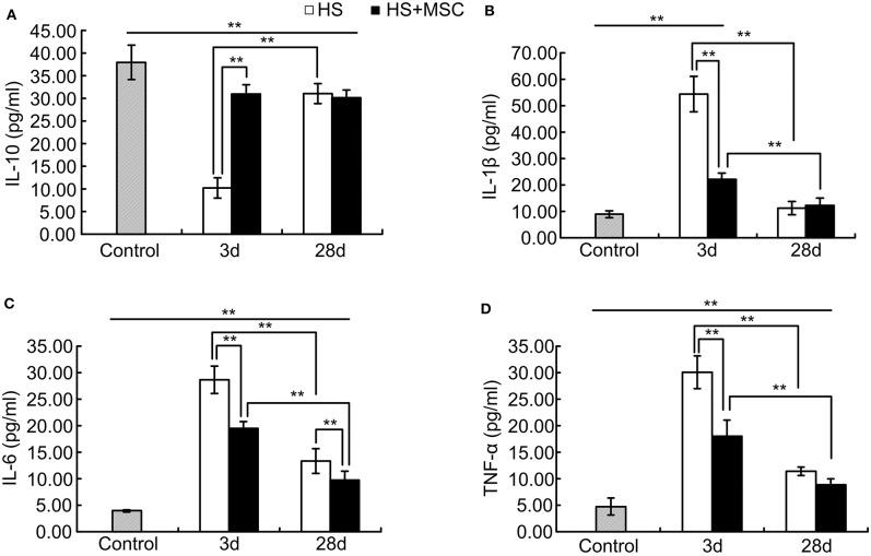 MSCs modulated pro-inflammatory and anti-inflammatory reactions of HS rats. At different time points after MSCs or saline infusion, the blood of rats in each group was collected, and the IL-10 (A) , IL-1β (B) , IL-6 (C) , and TNF-α (D) levels in the rat's blood serum were assayed. n = 10 rats per group. ** P