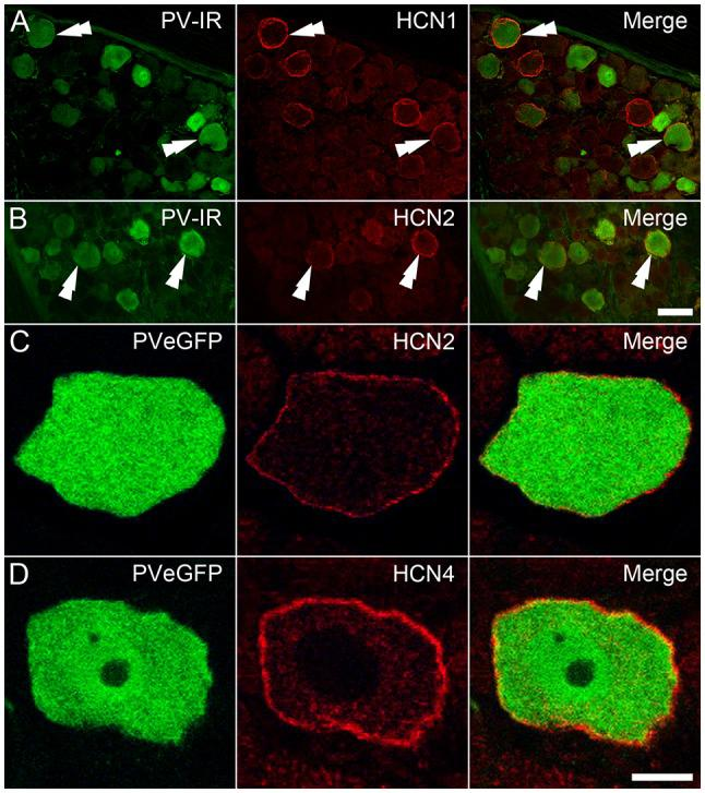 Immunohistochemical localization of HCN subunits in PV-expressing DRG neurons. (A,B) PV-IR DRG neurons (green) in wild-type mice were shown to express both HCN1 ( A ; red) and HCN2 ( B ; red), with examples denoted by double arrowheads. (C,D) In DRGs from PVeGFP mice, GFP-expressing cells (green) showed immunolabeling for both HCN2 ( C ; red) and HCN4 ( D ; red). Immunolabeling for each of the HCN subunits was restricted to the cell membrane. Scale Bars (μm): (A,B) = 50; (C,D) = 10.