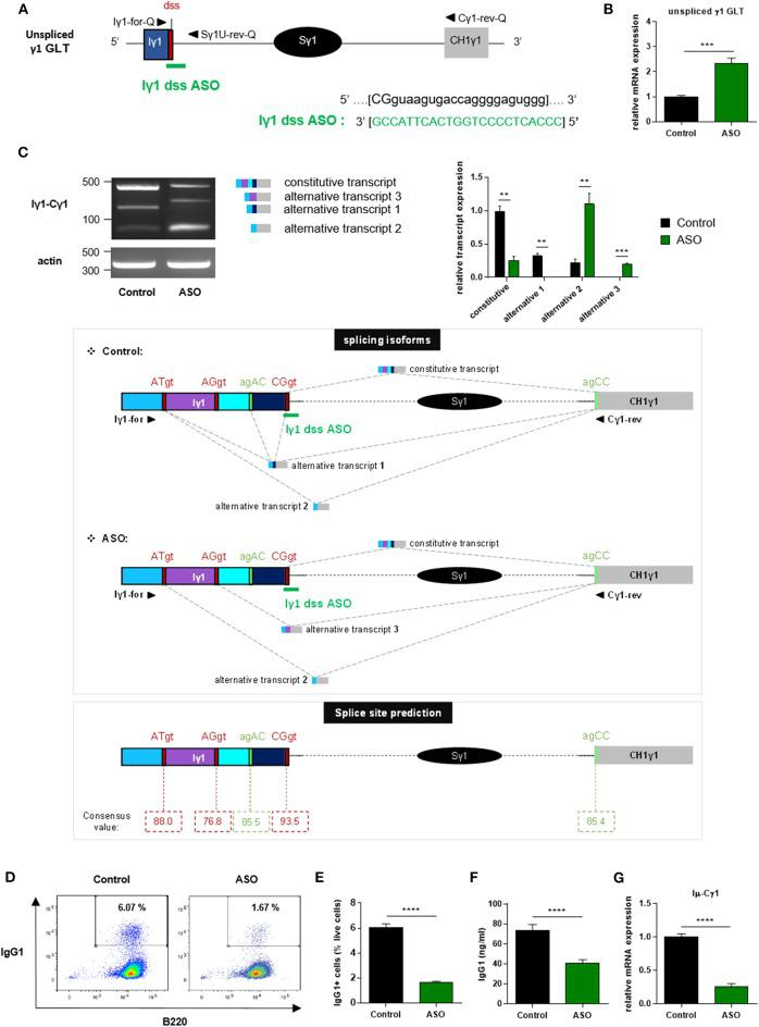 """Treatment with Iγ1 exon dss ASO inhibited γ1 GLT constitutive splicing and IgG1 class switching in B cells. (A) Antisense oligonucleotide targeting the donor splice site of Iγ1 exon (Iγ1 dss ASO) was designed and synthetized as """" vivo -morpholino ASO"""" permitting passive administration of ASO in cells (Gene Tools, LLC). Targeted γ1 GLT (uppercase: exon sequence; lowercase: intron sequence) and Iγ1 dss ASO sequences are indicated. Iγ1, γ1 I exon; Sγ1, γ1 switch region; CH1γ1, γ1 constant exon 1; dss, donor splice site. (B–G) Splenic B cells were isolated from C57BL/6 mice, stimulated with LPS + IL4, and treated with 2 μM Iγ1 dss ASO (ASO) or an irrelevant ASO (control) for 2 days (B,C) or 3 days (D–G) . (B) Unspliced γ1 GLT expression relative to GAPDH mRNA expression was monitored by quantitative RT-PCR using Iγ1-for-Q and Sγ1U-rev-Q primers described in schema A . Expression of γ1 GLTs in control B cells was normalized to 1. ( C , top) RT-PCR was performed using Iγ1-for and Cγ1-rev primers (position described in schema C , middle) to identify constitutively and alternatively spliced transcripts. PCR products were analyzed on agarose gels. Expression of actin mRNA is also shown. Molecular markers in base pairs are indicated. Schematic representation of the different γ1 spliced transcripts is indicated on the right, and transcript sequences are given in Supplementary Figure 3 . One experiment out of three is shown. Relative quantification of amplification products was done using ImageJ software and expressed after normalization to actin band intensity. ( C , middle) Schematic representation of γ1 spliced transcripts detected in B cells from C57BL / 6 mice after treatment with an irrelevant ASO (control) or Iγ1 dss ASO (ASO). Gray hatched lines represent splicing events involving constitutive and alternative splice sites. Donor and acceptor splice sites are indicated in red and green, respectively. ( C , bottom) Consensus value (ranging from 0 to 100) of each predicted"""