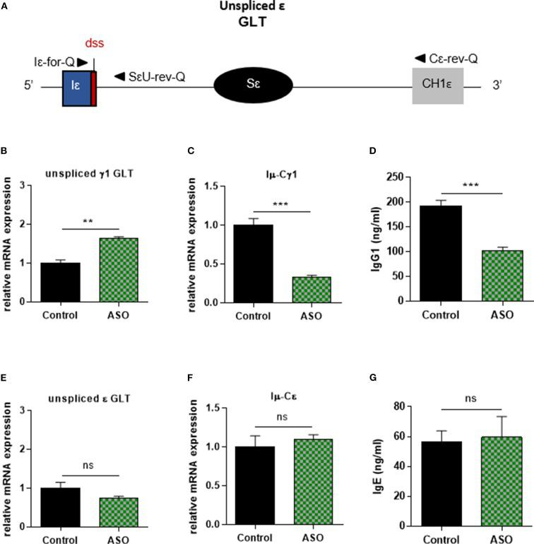 Specific IgG1 class switching inhibition in B cells treated by Iγ1 exon dss ASO. Splenic B cells were isolated from C57BL / 6 mice, stimulated with anti-CD40 + IL4 and treated with 2 μM Iγ1 dss ASO (ASO) or an irrelevant ASO (control) for 2 days (B,E) or 4 days (C,D,F,G) . (A) Schematic representation of unspliced ε GLT. Iε, ε I exon; Sε, ε switch region; CH1ε, ε constant exon 1; dss, donor splice site. (B,E) Unspliced γ1 (B) and ε (E) GLT expression monitored as described in Figure 2 . Iε-for-Q and SεU-rev-Q primers, described in schema A , were used for ε GLT expression determination. (C,F) Post-switch Iμ-Cγ1 and Iμ-Cε mRNA expressions monitored as described in Figure 2 . (D,G) Quantification of IgG1 and IgE in culture supernatants by ELISA. (B–G) Data are means ± SEM of two independent experiments, n = 3–4 for each group. Unpaired two-tailed Student's t test was used to determine significance. ns: non-significant, ** P