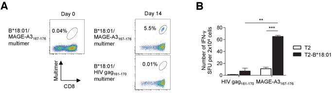 Identification of low-frequency antigen-specific T cells following peptide-specific expansion. CD8 + T cells isolated from M40 TILs were stimulated with B*18:01-artificial APCs pulsed with 10 μg/ml MAGE-A3 167-176 peptide and cultured with 10 IU/ml IL-2, 10 ng/ml IL-15, and 30 ng/ml IL-21 for 14 days. ( A ) Data from staining with the indicated multimers before stimulation (day 0) and 14 days after stimulation (day 14) are shown. The B*18:01/HIV gag 161-170 multimer was used as a control. The percentage of multimer + cells in CD8 + T cells is shown. ( B ) IFN-γ production by the M40 TILs in a B*18:01/MAGE-A3 167-176 -specific manner following peptide-specific stimulation. CD8 + T cells stimulated with B*18:01-artificial APCs pulsed with the MAGE-A3 167-176 peptide were employed as responder cells in IFN-γ ELISPOT analysis. T2 cells or T2 cells transduced with HLA-B*18:01 (T2-B*18:01) pulsed with MAGE-A3 167-176 or the HIV gag 161-170 control peptide were used as stimulator cells. The data shown represent the mean ± SD of experiments performed in triplicate. All the results are representative of at least two independent experiments. **p