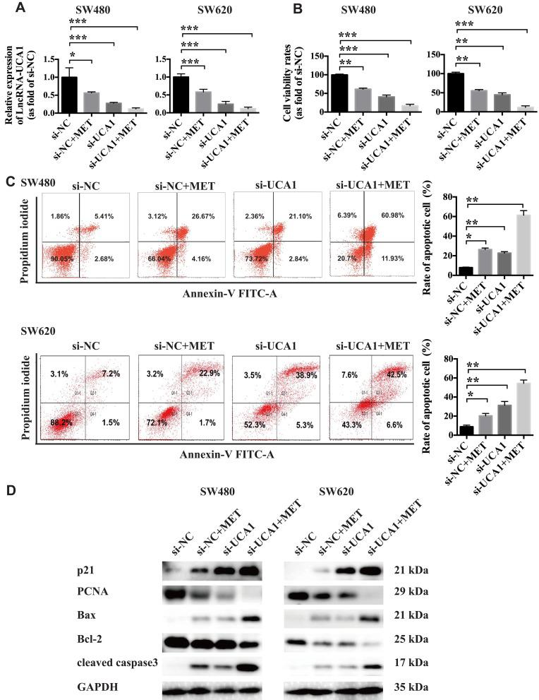 LncRNA-UCA1 knockdown facilitates the anticancer effects of metformin against colon cancer cells in vitro. ( A ) qRT-PCR was conducted to evaluate the effects of MET or UCA1 knockdown or MET + UCA1 knockdown on the expression of lncRNA-UCA1 in the SW480 and SW620 cells in vitro. ( B ) CCK-8 cellular viability assays were used to test the antiproliferative effects of MET or UCA1 knockdown or MET + UCA1 knockdown on colon cancer cells in vitro. ( C ) A flow cytometry-based method was conducted to test the effects of MET or UCA1 knockdown or MET + UCA1 knockdown on the cellular apoptosis of the SW480 and SW620 cells in vitro. ( D ) Western blotting was conducted to evaluate the effects of MET or UCA1 knockdown or MET + UCA1 knockdown on the expression of two proliferation-related markers (p21 and PCNA) and three apoptosis-related markers (Bax, Bcl-2 and cleaved caspase3) in colon cancer cells. *p-value