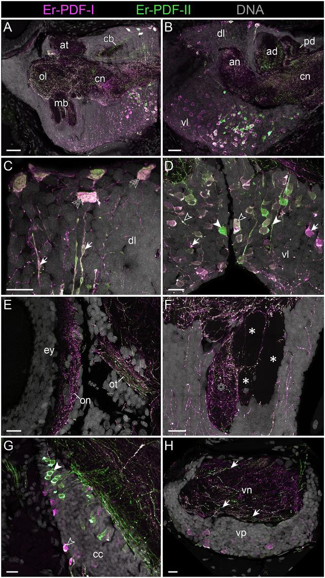 Combined immunolocalization of Er-PDF-I and Er-PDF-I in the brain of E. rowelli . <t>Confocal</t> <t>laser</t> <t>scanning</t> micrographs of vibratome sections. Dorsal is up in all images and anterior is left in (B,G) . Er-PDF-I-ir (magenta), Er-PDF-II-ir (green) and DNA (gray). (A,B) Er-PDF-I and Er-PDF-II are co-localized in neuropil and somata, albeit at different intensities. (C) Somata (arrowheads) and processes (arrows) of dorsal cell group exhibit equal intensity levels of Er-PDF-I-ir and Er-PDF-II-ir. (D) In contrast, somata and processes of ventral cell group occur in three variants: (i) Er-PDF-I-ir and Er-PDF-II-ir at equal levels (open arrowheads), (ii) Er-PDF-I-ir at higher level (arrows), and (iii) Er-PDF-II-ir at higher level (filled arrowheads). (E–H) Differences in expression levels of Er-PDF-I-ir and Er-PDF-I-ir are also seen in optic neuropil (E) , inner lobe (black asterisk) as opposed to remaining lobes of the mushroom bodies (white asterisks) (F) , somata of connecting cords (G) , and somata and neuropil of nerve cords (H) . an, anterior neuropil; ad, anterior division of central body; at, antennal tract; cb, central body; cc, connecting cord; cn, central neuropil; dl, dorsal perikaryal layer; ey, eye; mb, mushroom body; ol, olfactory lobe; on, optic neuropil; ot, optic tract; pd, posterior division of the central body; vl, ventral perikaryal layer; vn, neuropil of ventral nerve cord; vp, perikaryal layer of ventral nerve cord. Scale bars: 50 μm (A,B) and 20 μm (C–H) .