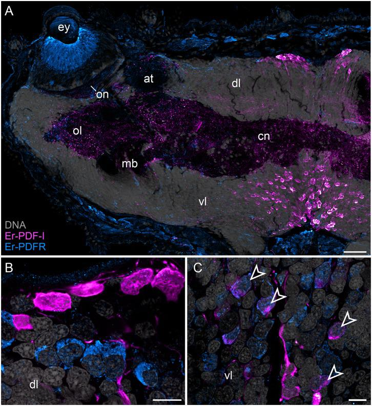 Combined immunolocalization of Er-PDF-I and Er-PDFR in E. rowelli . Confocal laser scanning micrographs of vibratome sections. Dorsal is up in all images. Er-PDF-I (magenta), Er-PDFR (cyan), and DNA (gray). Note that cuticle is autofluorescent. (A) Overview of protocerebrum. (B) Detailed view of dorsal perikaryal layer. (C) Detailed view of ventral perikaryal layer. Note that Er-PDF-I and Er-PDFR are co-localized only in some cells of ventral group (arrowheads). at, antennal tract; cn, central neuropil; dl, dorsal perikaryal layer; ey, eye; mb, mushroom body; ol, olfactory lobe; on, optic neuropil; vl, ventral perikaryal layer; Scale bars: 50 μm (A) and 10 μm (B,C) .