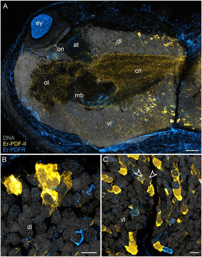 Combined immunolocalization of Er-PDF-II and Er-PDFR in E. rowelli . Confocal laser scanning micrographs of vibratome sections. Dorsal is up in all images. Er-PDF-II (yellow), Er-PDFR (cyan), and DNA (gray). Note that cuticle is autofluorescent. (A) Overview of protocerebrum. (B) Detailed view of dorsal perikaryal layer. (C) Detailed view of ventral perikaryal layer. Note that Er-PDF-II and Er-PDFR are co-localized in some cells of the ventral group (arrowheads). at, antennal tract; cn, central neuropil; dl, dorsal perikaryal layer; ey, eye; mb, mushroom body; ol, olfactory lobe; on, optic neuropil; vl, ventral perikaryal layer; Scale bars: 50 μm (A) and 10 μm (B,C) .