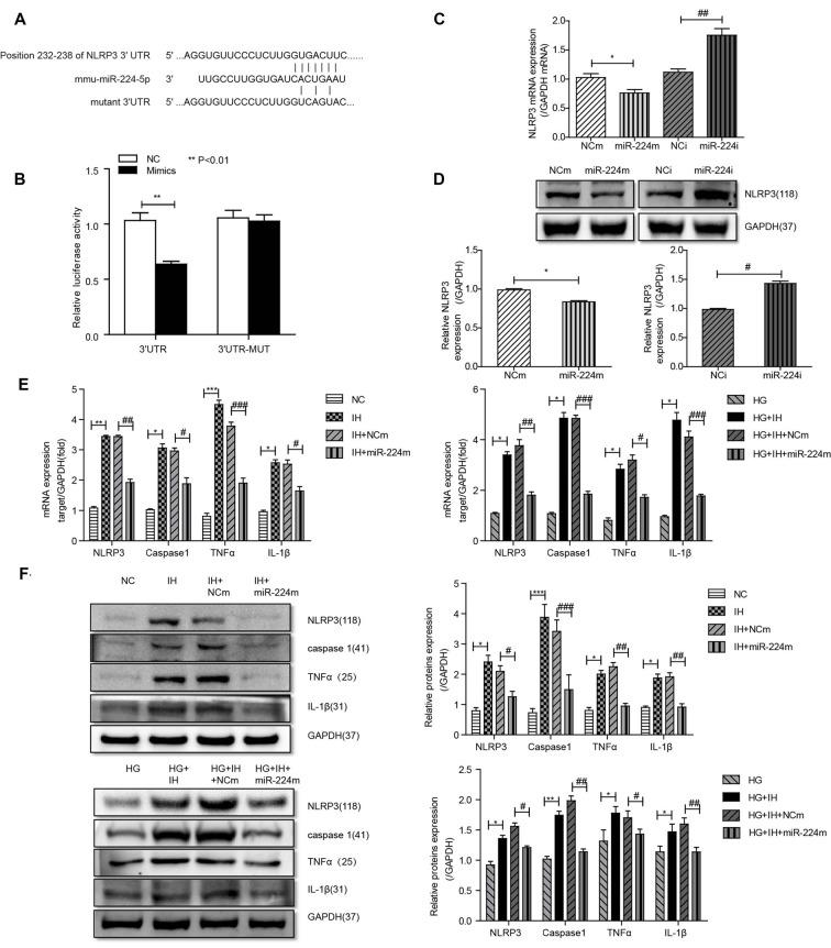 Inhibition of the MALAT1/miR-224-5p/NLRP3 axis reduced inflammation caused by exposure to IH and HG. (A) Sequence alignment between miR-224-5p and the <t>3′-untranslated</t> region (UTR) of NLRP3. Complementary bases between the sequences are shown in red. The sequence of the mutant NLRP3 construct is also shown. (B) Firefly luciferase assay of BV2 cells co-transfected with NLRP3 3′-UTR-WT or NLRP3 3′-UTR-Mut and miR-224-5p mimic or miR-NC. Data are presented as the mean ± SD from six separate experiments. ** p