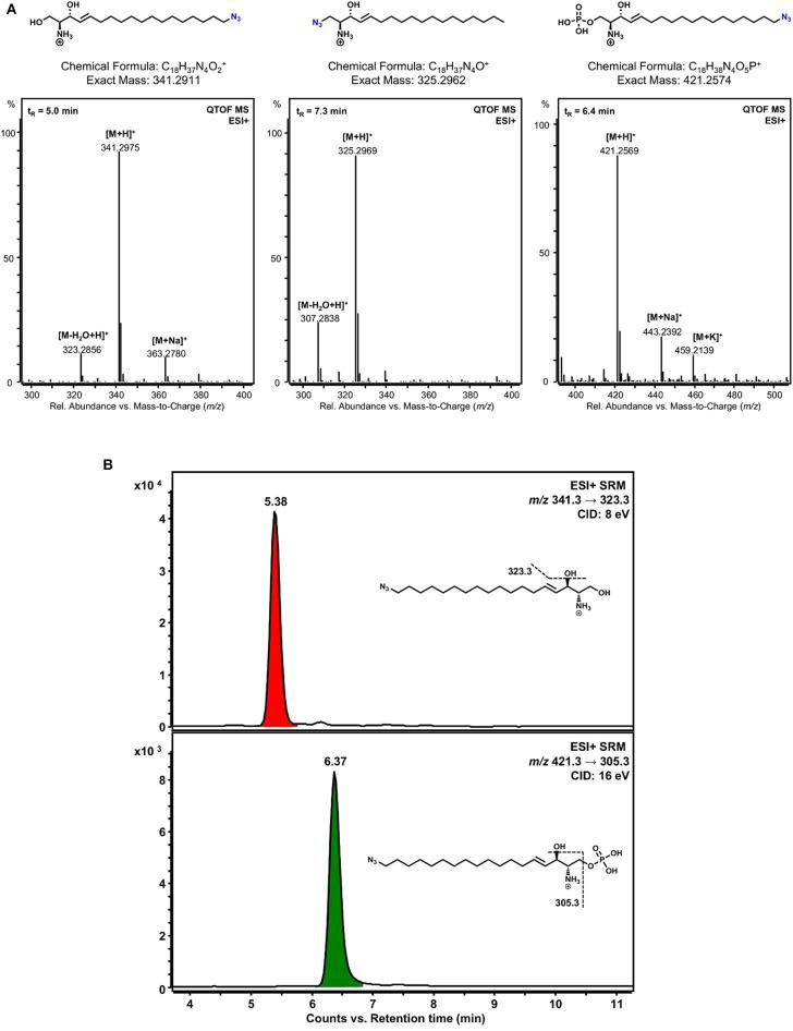 Detection of phosphorylated sphingosine analogs. (A) LC-HRMS verification of the identity of the clickable sphingosine analogs used and detection of a phosphorylation product of ω-N 3 -sphingosine catalyzed by SphK1 in vitro . Lipid extracts from incubation of 1-N 3 -sphingosine or ω-N 3 -sphingosine with SphK1 and ATP were chromatographically separated by HPLC and analyzed with a quadrupole-time-of-flight mass spectrometer (QTOF MS) operating in the positive <t>electrospray</t> ionization mode <t>(ESI+).</t> Chemical structures and mass spectra of ionized ω-N 3 -sphingosine (left), 1-N 3 -sphingosine (middle), and phosphorylated ω-N 3 -S1P (right) are shown. No phosphorylation product of 1-N 3 -sphingosine could be detected. The retention time (t R ) of each substance analyzed is given as inset (top left) in the respective mass spectrum. (B) Detection of ω-N 3 -sphingosine 1-phosphate in Chang cells by LC-MS/MS. Chang cells were incubated with either 1-N 3 -sphingosine or ω-N 3 -sphingosine (10 μM) for 17 h. Lipid extracts were analyzed by selected reaction monitoring (SRM) after positive electrospray ionization (ESI+). As expected, no phosphorylation product could be detected for 1-N 3 -sphingosine (not shown). On the other hand, both ω-N 3 -sphingosine (upper chromatogram) and ω-N 3 -S1P (lower chromatogram) were present in lipid extracts of Chang cells stimulated with ω-N 3 -sphingosine. Assuming similar MS/MS responses for precursor and phosphorylation product, a conversion of about 20% occurred under the given experimental conditions. Peaks are labeled with retention time. Structural formulas and MS/MS fragmentations monitored are given as insets. CID, collision-induced dissociation.