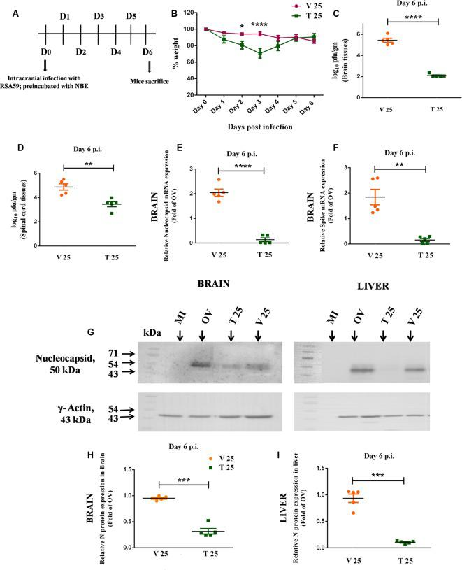 Intracranial infection in mice with RSA59, preincubated with NBE, restricted viral replication at day 6 p.i., implying a direct anti-viral property in vivo . Day-timeline of intracranial infection (i.c.) of C57BL/6 mice and sacrifice (A) . Mice were infected with RSA59 (20,000 PFU; OV), NBE-preincubated (25 mg/kg B.W.) RSA59 (T 25), and RSA59 preincubated with DMSO (V 25). The comparative effect of NBE on body weight change was shown upon i.c. inoculation with NBE-preincubated RSA59 into C57BL/6 mice brain. Significant changes were observed at day 2 and 3 p.i. in T 25 mice compared with V 25 mice (B) . Tissue lysates from the brain and spinal cord from OV, T and V mice were subjected to comparative viral plaque assay on confluent monolayers of L2 cells at day 6 p.i. Titers were expressed as log 10 PFU/gm of tissue. T 25 revealed potential downregulation in RSA59 replication compared to V in the brain (C) and spinal cord (D) . The relative expression of viral N and S transcripts upon NBE treatment was determined in the brain tissues at day 6 p.i using qRT-PCR analysis. Results were normalized to GAPDH, and compared with OV. There is significant downregulation in N (E) and S (F) gene expression at the mRNA level during the acute infection stage. Similarly, mouse whole brain and liver lysates at day 6 p.i. were subjected to immunoblot analysis with Anti-N (Nucleocapsid) antibody at 1:50 dilution (G) . Significant downregulation of viral N expression at the protein level was observed in both brain (H) and liver (I) tissues. Results were normalized to γ-Actin, and compared with OV. Data represent mean ± SEM in scatter plots and statistical significance was determined by unpaired student's t -test and RM Two-way ANOVA followed by Sidak's multiple comparison test; * p