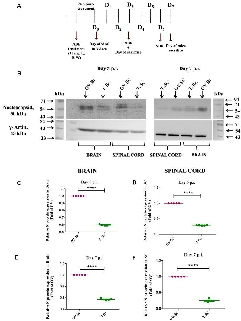 """Intraperitoneal administration of NBE exhibited a significant reduction in viral Nucleocapsid protein expression. Day-timeline of intracranial infection (i.c.) following intraperitoneal (i.p.) administration of NBE into C57BL/6 mice and sacrifice (A) . Mice were infected with MHV-A59 (2,000 PFU; OV) and NBE (25 mg/kg B.W.) was administered i.p. following the MHV-A59 infection (T). Mouse whole brain and liver lysates at day 5 p.i. and day 7 p.i. were subjected to immunoblot analysis with Anti-N (Nucleocapsid) antibody at 1:50 dilution (B) . Results were normalized to γ-Actin, and compared with OV. At the acute stage of infection, NBE significantly decreased viral """"N"""" protein expression in the brain (B,C,E) and spinal cord (B,D,F) proteins at both 5 and 7 days p.i. followed by i.p. NBE administration. Data were represented as mean ± SEM and statistical significance was determined by unpaired student's t -test analysis; **** p"""