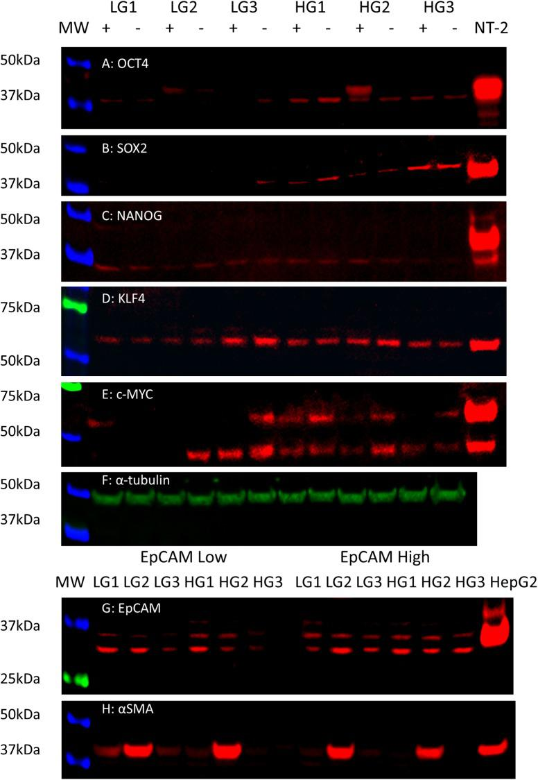 Western blotting. Protein extractions from 3 LGCA and 3 HGCA EpCAM High (+) and EpCAM Low (-) cell lines were probed for OCT4 (A; 40kDa), <t>SOX2</t> (B; 40-43kDa), NANOG (C; 37-40kDa), KLF4 (D; 54kDa) and c-MYC (E; 42 57kDa). NTERA-2 cells were used as the positive control for all iPSC markers. α-tubulin (F; 50kDa) was used as a loading control. EpCAM High and EpCAM Low cell lines were also probed for their expression of EpCAM (G; bands from ~30-40kDa) and α-SMA (H; 42kDa). HepG2 cells and 3T3 cells were used as the positive control for EpCAM and α-SMA, respectively.