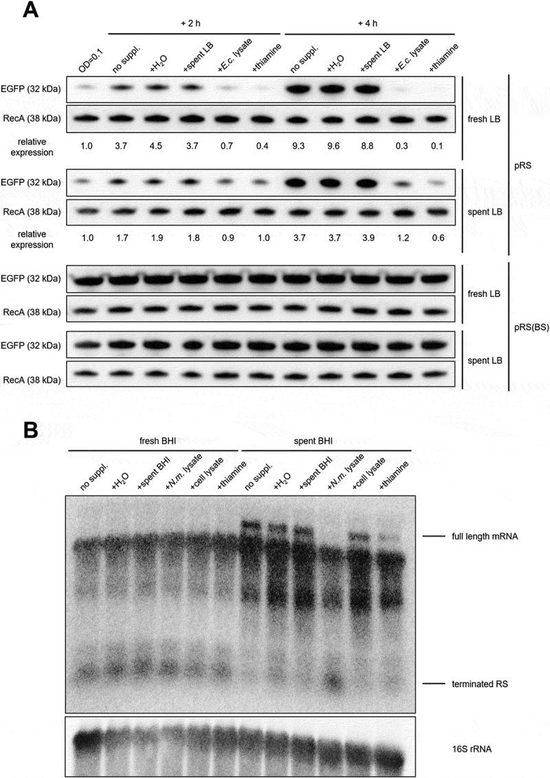 Modulation of thiC expression in different growth media and bacterial or cell lysates. (A) E. coli carrying the reporter plasmid with EGFP fused to the wild-type N. meningitidis thiC promoter plus 5´UTR (pRS) or the variant with the mutation in the TPP binding region (pRS(BS)) was cultured in fresh or spent LB up to OD 600 = 0.1 and supplemented with H 2 O, spent LB, E. coli lysate and pure thiamine. After 2 and 4 h, bacterial samples were harvested and analysed by Western blot. EGFP signals were quantified and normalized to the corresponding RecA signals and each set by the value of the OD = 0.1 sample. (B) N. meningitidis was grown in either fresh or spent BHI supplemented with H 2 O, spent BHI, N. meningitidis lysate, A459 human alveolar epithelial cell lysate, and pure thiamine. Northern blot analysis was performed using probe A from Fig. 1 (B).