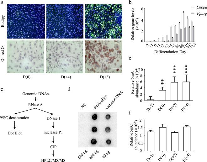 Profiling of N 6 -adenine methylation in adipocyte differentiation of 3T3-L1 cells. ( a ) Staining of cellular lipid of preadipocytes on Day(0), differentiating adipocytes on Day(+4), and mature adipocytes on Day(+8). Lipid staining was performed with Bodipy 493/503 (Green) and Oil red O (Red), nuclei were co-stained with Hoechst 33342 (Blue). ( b ) Expression profiles of Cebpa and Pparg were determined by qRT-PCR, in relative to the expression of β-actin . ( c ) Workflow to quantify 6 mA abundance of genome <t>DNA</t> sample. ( d ) Dot blot assay of N 6 -adenine methylation. NC, a DNA oligo without N 6 -adenine methylation. 6mA-oligo, a DNA oligo containing one N 6 -adenine methylation. Genome DNA, genome <t>DNAs</t> extracted from 3T3-L1 preadipocytes. ( e,f ) Abundances of 6 mA and 5mC methylation were quantified using HPLC-MS/MS analysis. Molar ratios of 6 mA to dA were calculated, and molar ratios of 5mC to dC were calculated. Data are presented as mean ± s.d, n > 3 independent assay. *P