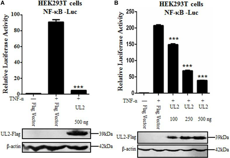 """Inhibition of TNF-α–induced NF-κB activation by HSV-1 UL2. (A) HEK293T cells were transfected with promoter reporter plasmids NF-κB–Luc and pRL-TK, together with 500 ng of Flag empty vector or pUL2-Flag plasmid. Twenty-four hours posttransfection, cells were treated with or without 10 ng/mL of the recombinant human TNF-α and incubated for an additional 6 h, followed by cell lysed. Nuclear factor κB–driven luciferase activity was detected by DLR, as described in section """"Materials and Methods."""" (B) was carried out as (A) ; except that for an increase indicated amounts (100, 250, and 500 ng) of UL2-Flag expression plasmid were used. Cell lysates were divided into two aliquots; one aliquot was used for DLR detection, and the other was used for WB analysis to detect the protein expression of transfected plasmid. The expression of UL2 was analyzed by WB with anti-Flag mAb, and β-actin was used to verify equal loading of protein in each lane. Dual-luciferase reporter data were normalized for transfection efficiency through measuring firefly luciferase activity and Renilla luciferase activity, and values were shown as the ratio between the firefly and Renilla luciferase. Data were expressed as means ± SD from three independent experiments. *** P"""