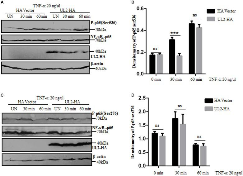 p65 phosphorylation at Ser536 is suppressed by HSV-1 UL2. (A,C) HEK293T cells transfected with either HA empty vector or UL2-HA expression plasmid were stimulated with TNF-α (20 ng/mL) for the indicated times (0, 30, and 60 min) according to previous studies ( 59 , 77 ), and then equal amounts of cell lysates were analyzed by WBs with phospho-NF-κB–p65 (Ser536) Ab (A) , phospho-NF-κB–p65 (Ser276) Ab (C) (top panel), or anti-p65 pAb (second panel). Protein levels of UL2 (third panel) and β-actin (bottom panel) in the same cell lysates were also determined. (B,D) Densitometry of phospho-NF-κB–p65 Ser536 (B) and Ser276 bands (D) from (A,C) , respectively, were normalized to loading control β-actin. Data were expressed as means ± SD from three independent experiments. ns, not significant and *** P