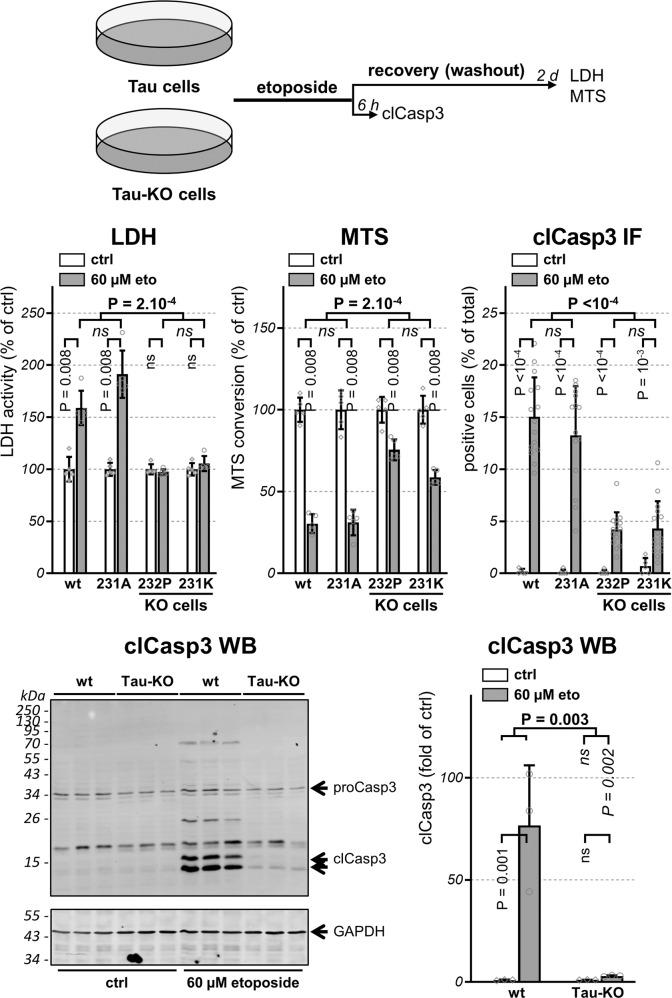Tau deficiency confers resistance to etoposide-induced apoptosis . Scheme representing the design of the experiment with parental and 231A (Tau) cells compared to 232P and 231K (Tau-KO) cells treated 30 min with 60 μM etoposide and recovered as indicated before analysis. LDH and MTS values are shown as percentage of parental cells (wt), mean ± SD of five biological replicates. To measure activation of apoptosis, percent positive cells for cleaved-caspase-3 (clCasp3) is determined on confocal microscope images and normalized for total DAPI-positive cells, mean ± SD of five images for the untreated cells (ctrl) and of 15 images for etoposide-treated cells (60 μM eto), n > 500 cells/condition, representative experiment of n > 3 biological replicates. Activated clCasp3 was also analyzed by western blot with GAPDH as loading control and 15 and 17 kDa clCasp3 quantified by normalization with GAPDH, mean ± SD ( n = 3 biological triplicates). Statistical analysis by independent measures ordinary two-way ANOVA, source of variation for cell lines (in bold), multiple Bonferroni pairwise comparisons for treatment between lines (in italics) or for each line (in vertical).