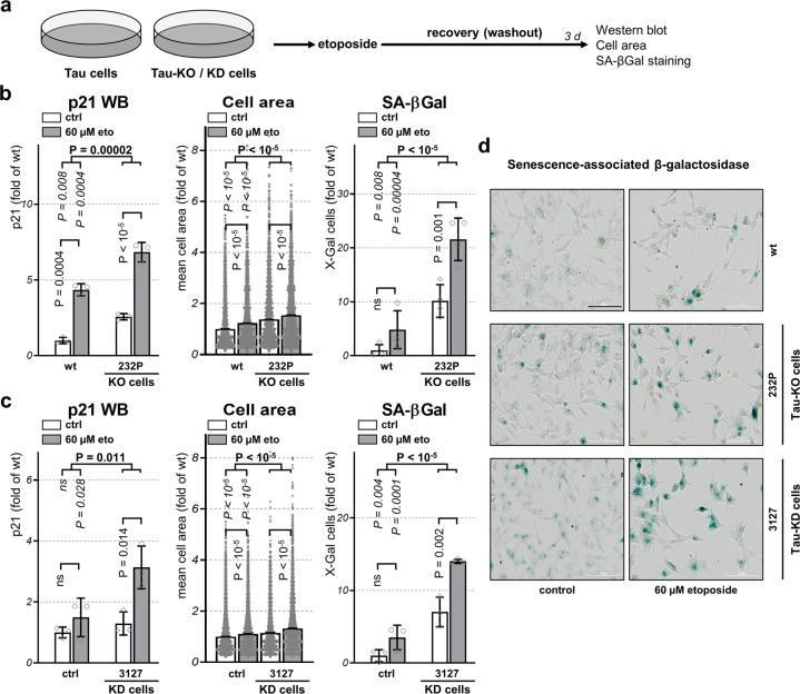 Tau depletion increases cellular senescence . a Scheme of the procedure followed to assess cellular senescence upon 30 min treatment with 60 μM etoposide followed by 3 days of recovery. b Quantification of p21 amount in cell lysates by western blot in parental (wt) or 232P (Tau-KO) cells under control conditions (ctrl) or following etoposide treatment (60 µM eto) normalized for GAPDH, mean ± SD of three biological replicates. Quantification of mean cell area and percent positive cells for senescence-associated β-galactosidase (SA- βGal) determined with a high-content microscope scanner, mean ± sem of four (Tau-KO cells) or three (Tau-KD) independent experiments, n > 8000 cells. Data are shown as fold of wt cells at basal conditions. c Same as in b for mock shRNA (ctrl) or Tau 3127 shRNA (Tau-KD) cells. d Representative images of SA-βGal staining (in blue), bright-field, scale bar = 100 μm. Statistical analysis by independent measures ordinary two-way ANOVA, source of variation for cell lines (in bold), multiple Bonferroni pairwise comparisons for treatment between lines (in italics) or for each line (in vertical).