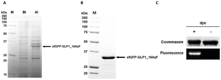 Site-specific incorporation of AzF into recombinant <t>GLP-1</t> fused to sfGFP. ( A ) Coomassie Brilliant Blue-stained sodium dodecyl sulfate–polyacrylamide gel electrophoresis (SDS-PAGE) image of cell lysates before (BI) and after (AI) induction; the prominent band attributable to the sfGFP-GLP-1 fusion protein is indicated (arrow). Protein molecular weight standards are shown in lane M. ( B ) Purified sfGFP-GLP1_16AzF on Coomassie Brilliant Blue-stained SDS-PAGE gel after nickel–nitrilotriacetic acid (Ni-NTA) chromatography and anion exchange chromatography (arrow). Protein molecular weight standards are shown in lane M. ( C ) Protein gel image of sfGFP-GLP1_16AzF treated with or without fluorescent dye (DBCO-PEG4-carboxyrhodamine). The gel was subjected to UV irradiation (302 nm) to excite the fluorophore (fluorescence) and stained with Coomassie Brilliant Blue (Coomassie) to visualize the protein.
