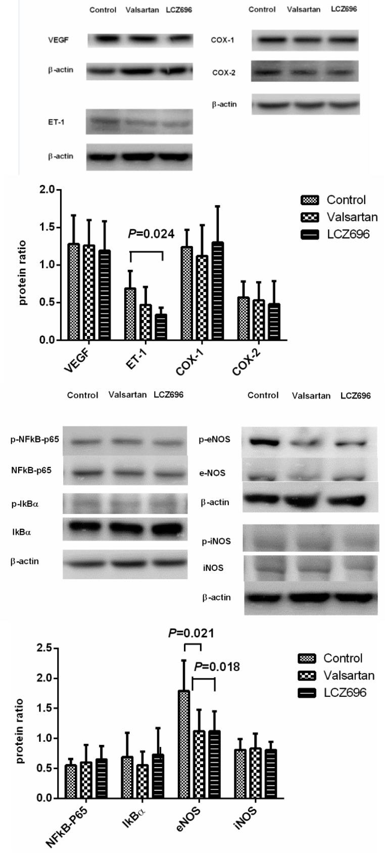 Hepatic protein expressions of control, valsartan-, LCZ696-treated PVL rats. The densitometric quantification and representative Western blot images are shown. The upper panel reveals that the endothelial-1 (ET-1) protein expression was significantly downregulated by LCZ696 compared to the control group. The vascular endothelial growth factor (VEGF), cyclooxygenase (COX)-1, and COX-2 protein expressions were not significantly different among control, valsartan-, and LCZ696-treated PVL rats. The lower panel indicates that the phosphorylated-endothelial nitric oxide synthase (eNOS) protein expressions were downregulated by valsartan and LCZ696 treatments. The phosphorylated-nuclear factor kappa B (NFκB) p65, phosphorylated-antinuclear factor of kappa light polypeptide gene enhancer in B-cells inhibitor alpha (IκBα), and phosphorylated-inducible nitric oxide synthase (iNOS) protein expressions were not affected by valsartan and LCZ696.