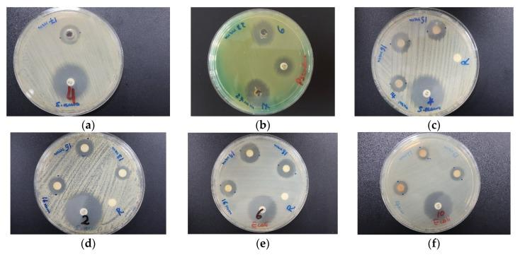 Antimicrobial agar plate methods on AgNP compounds with positive controls (antibiotic). From left to right: ( a ) Agar well diffusion of TCA-AgNP against S. aureus ATCC 25923 ; ( b ) TCA-AgNP-PI against P. aeruginosa WDCM 00026 . From ( c – f ) disc diffusion methods: ( c ) TCA-AgNP against S. aureus ATCC 25932 ; ( d ) TCA-AgNP against S. aureus ATCC 25932 ; ( e ) TCA-AgNP-PI against E. coli WDCM 00013 ; ( f ) Cinn-AgNP-PI against E. coli WDCM 00013 .