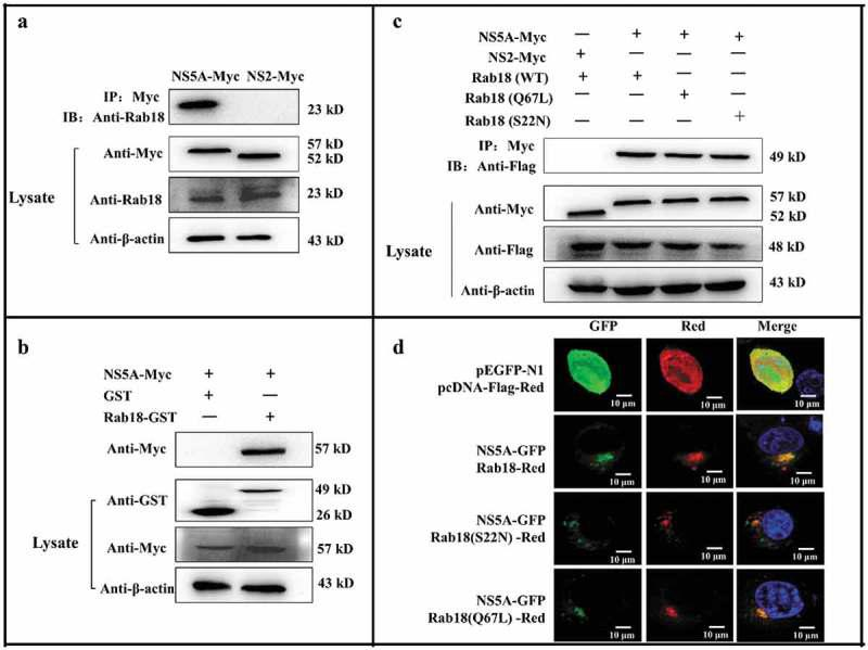 Rab18 binds to CSFV NS5A. (a) Co-immunoprecipitation (co-IP) assay. Cells were transfected with pcDNA-NS2-Myc or pcDNA-NS5A-Myc for 48 h. The transfected cells were lysed and immunoprecipitated, and western blot analysis was conducted using anti-Myc, anti-Rab18, and anti-β-actin. (b) GST-pulldown assay. GST or GST-Rab18 fusion proteins expressed in E. coli <t>BL21</t> (DE3) were purified with glutathione agarose resin and incubated with the lysate of NS5A-Myc-expressing cells. Western blot analysis using anti-GST, anti-Myc, and anti-β-actin. (c) Exogenous NS5A-Myc binds to Rab18-Flag, S22N-Flag, and Q67 L-Flag in co-transfected cells. pcDNA-NS5A-Myc with pCDNA3.1-Rab18-Flag-, pCDNA3.1-S22N-Flag-, and pCDNA3.1-Q67L-Flag-transfected cells were lysed and immunoprecipitated. Then, western blot analysis was conducted using anti-Myc, anti-Flag, and anti-β-actin. pcDNA-NS2-Myc with pCDNA3.1-Rab18-Flag was used as a negative control. (d) Rab18 co-localization with CSFV NS5A protein. Cells were co-transfected with NS5A-GFP and Rab18-Red, NS5A-GFP and Q67L-Red, and NS5A-GFP and S22N-Red. Plasmids pEGFP-N1 and pCDNA-Red were co-transfected as a control. At 48 h after transfection, cells were fixed in 4% paraformaldehyde and stained with DAPI to label nuclei (blue). Scale bars, 10 μm.