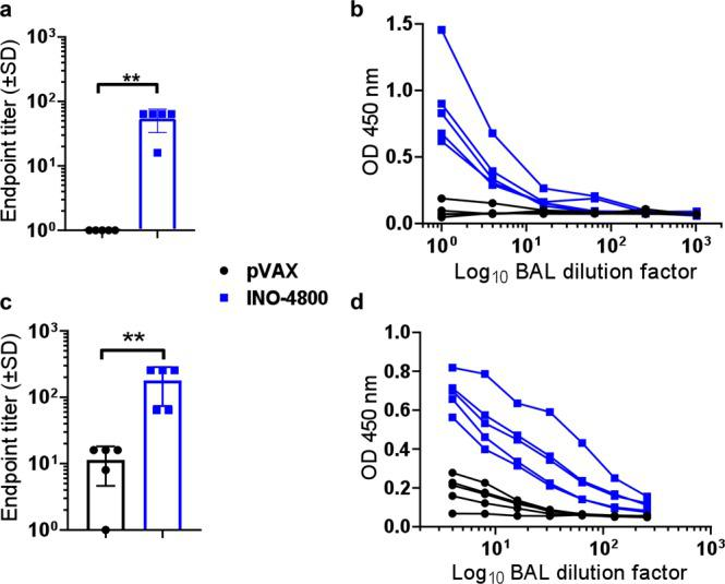 Detection of SARS-CoV-2 S protein-reactive antibodies in the BAL of INO-4800 immunized animals. BALB/c mice (n of 5 per group) were immunized on days 0 and 14 with INO-4800 or pVAX and BAL collected at day 21 ( a , b ). Hartley guinea pigs ( n of 5 per group) were immunized on days 0, 14 and 21 with INO-4800 or pVAX and BAL collected at day 42 ( c , d ). Bronchoalveolar lavage fluid was assayed in duplicate for SARS-CoV-2 Spike protein-specific IgG antibodies by ELISA. Data are presented as endpoint titers ( a , c ), and BAL dilution curves with raw OD 450 nm values ( b , d ). a , c Bars represent the average of each group and error bars the standard deviation. ** p