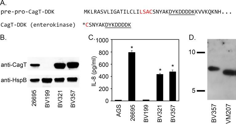 "Analyses of CagT-DDK. (A) Amino-terminal amino acid sequence of CagT-DDK and the CagT-DDK peptides following enterokinase treatment. The lipobox is highlighted in red, the DDK epitope is underlined, and the asterisk indicates the site of triacyl lipid modification in WT H. pylori or the site of diacyl lipid modification in lnt mutant H. pylori . Signal peptide cleavage occurs between the ""A"" and ""C"" within the lipobox. Enterokinase cleavage occurs after lysine at its cleavage site DDDDK. (B) Expression of CagT was assessed by immunoblotting extracts of strains 26695 (WT), BV199 (Δ cagT ), BV321 (restored cagT ), and BV357 ( cagT-DDK 27 ) using anti-CagT and anti-HspB (as loading control). (C) H. pylori strains were cocultured with AGS cells, and the ability of each strain to induce IL-8 production was determined by ELISA. Asterisks denote results that were significantly different from the BV199 control results (analysis of variance [ANOVA] followed by Dunnett's post hoc test, P"