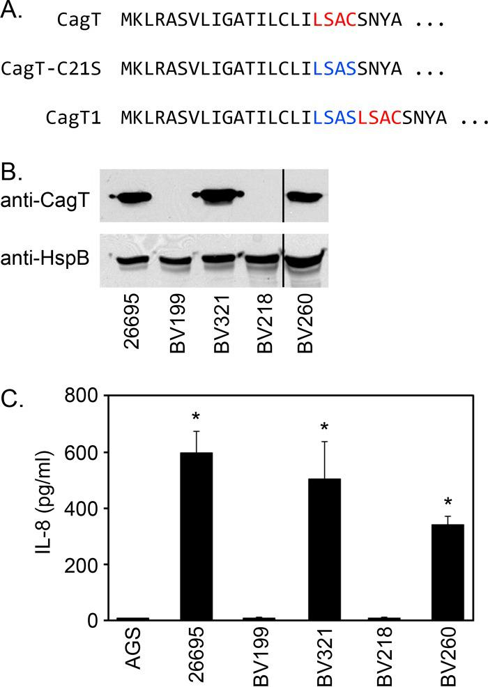Requirement of a lipobox cysteine residue for CagT stability. (A) Amino-terminal amino acid sequences of CagT and mutant forms of CagT analyzed in this study. The CagT lipobox is highlighted in red, and the disrupted lipobox (CagT-C21S) is highlighted in blue. (B) Expression of CagT was evaluated by immunoblotting extracts of strains 26695 (WT), BV199 (Δ cagT ), BV321 (in which a WT copy of cagT was introduced into the ureA locus-restored cagT strain), BV218 ( cagT-C21S ), and BV260 ( cagT1 ) using anti-CagT. Vertical line indicates cropping of an additional unreported lane from the image. (C) H. pylori strains were cocultured with AGS cells, and the ability of each strain to induce IL-8 production was determined by ELISA. Asterisks denote results that were significantly different from the BV199 control results (ANOVA followed by Dunnett's post hoc test, P