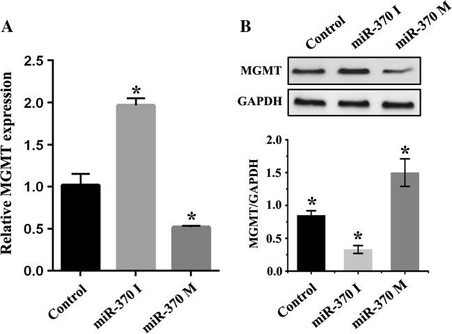 miR-370 regulates MGMT expression in raji cells. a <t>qRT-PCR</t> demonstrated that miR-370 inhibitors increased expression of MGMT at mRNA level, while miR-370 mimics suppressed MGMT mRNA expression. b The result of MGMT protein level examined by western blot was similar with ( a ) after being transfected with miR-370 inhibitors or mimics