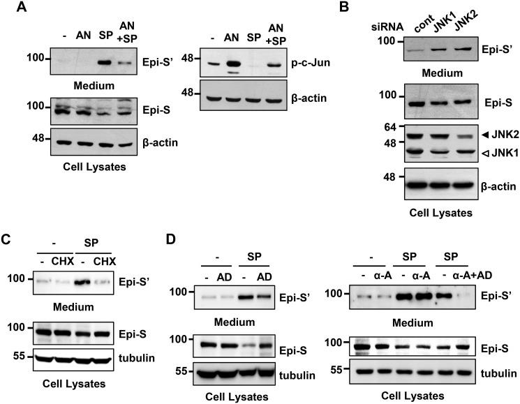 SP600125-induced Prss14/epithin shedding involves JNK activity and de novo synthesis of labile protein. A , 427.1.86 cells were pretreated with 10 μ m anisomycin ( AN ) for 30 min and then treated with 5 μ m SP600125 ( SP ) for an additional 2 h. Epi-S' collected from culture medium and Epi-S in the cells were detected by Western blot analysis. B , suppression of JNKs by transfection with JNK1- or JNK2-specific siRNA induced Prss14/epithin shedding. 427.1.86 cells were transfected with 100 n m of JNK siRNA or nontargeting control ( cont ) siRNA. After 48 h, the medium was replaced and incubated for an additional 2 h before harvesting medium and cells. Control siRNA designed not to target any genes was used as a negative control in knockdown experiments. The band intensities were scanned, and we estimated the degree of percent reduction or -fold increase relative to control samples as described in the text. C , effects of cycloheximide ( CHX ) in SP600125-induced shedding. 427.1.86 cells were pretreated with 10 μ m cycloheximide and then treated with 5 m m SP600125 for an additional 2 h before harvesting the samples. D , effects of pretreatment of actinomycin D ( AD , 5 μ m for 30 min) and/or α-amanitin (α -A , 5 μ m for 12 h) on SP600125-induced shedding was analyzed as in A .