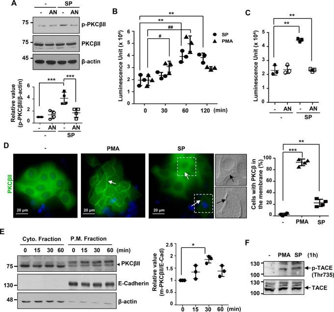JNK inhibition increases PKCβII activity, translocation into the membrane, and TACE phosphorylation. A , phosphorylation of PKCβII by the JNK inhibitor. 427.1.86 cells were pretreated with 10 μ m anisomycin ( AN ) for 30 min and then treated with 5 μ m SP600125 ( SP ) for an additional 1 h. SP600125 treatment induced PKCβII phosphorylation. Relative values of band intensity are expressed as means ± S.D. of four independent experiments. ***, p