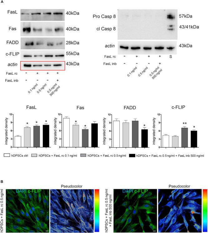 Evaluation of Fas/FasL pathway in hDPSCs following stimulation with FasL rc. (A) Western Blot analysis of FasL, Fas, FADD, c-FLIP, pro-caspase 8 and cleaved caspase 8 in hDPSCs after stimulation with FasL rc at different concentrations. hDPSCs treated with 1 μM Staurosporine were used as positive control of cleaved caspase 8. At the bottom, histograms represent mean ± SD ( n = 3) of densitometry of FasL, Fas, FADD and c-FLIP; * P