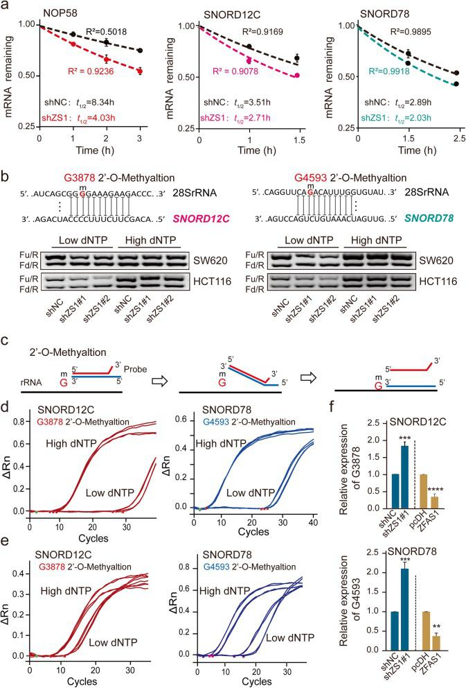 ZFAS1 inhibits RNA stability of SNORD12C, SNROD78, and the specific sites of rRNA 2′-O-methylation . a , Reducing NOP58, SNORD12C, and SNROD78 half-life ( t 1/2 ) by silencing ZFAS1 in SW620 cells. Values are the mean ± s.d. of n = 3 independent experiments. b , The rRNAs 2′-O-Me activities of G3878 site and G4593 site were decreased after ZFAS1 knockdown in SW620 and HCT116 detected by RTL-P assay. c , The schematic structures showing a novel method called double-stranded primer based on single-stranded toehold (DPBST) assay for detecting rRNAs 2′-O-Me levels. d and e , The 28S rRNA G3878 and G4593 sites of 2′-O-Me mediated by SNORD12C or SNORD78 at the high or low dNTPs conditions after silencing ZFAS1 (Upper) or overexpression ZFAS1 (Lower) in SW620 cells detected by DPBST assays. f , The DPBST detecting statistical results of 2′-O-Me by qPCR assay. *, P