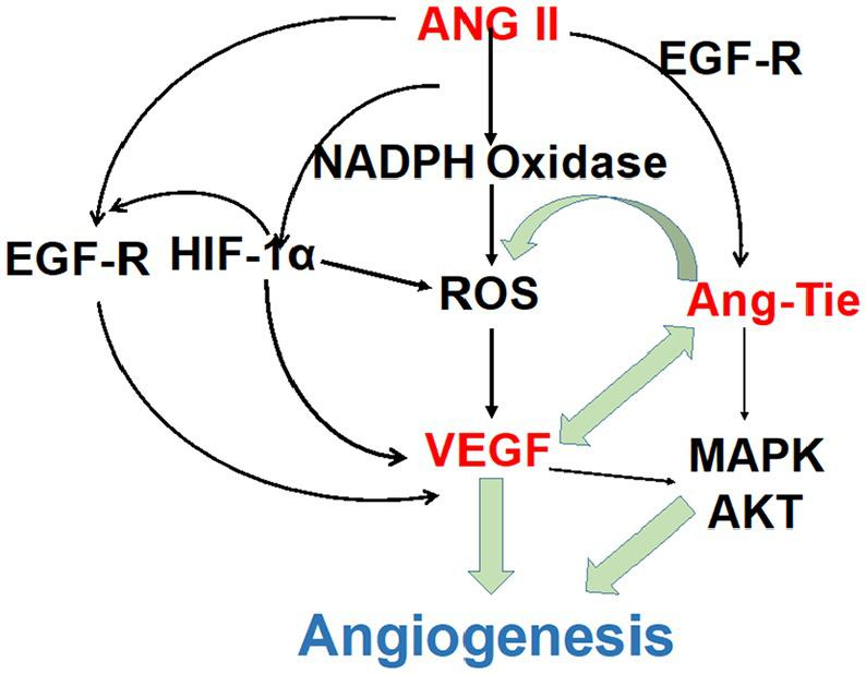 The possible pathways of Ang II-mediated angiogenesis. ANG II stimulates the generation of ROS through membrane NAD(P)H oxidases in VSMCs after binding to AT1-R. ROS are involved in many AngII mediated effects, including production of HIF-1α in vascular cells, activation of p38MAPK, and transcription factor NF-kB. Interactions between Ang II and ROS are critical in vascular physiology and pathology in terms of regulating vascular structure and functions. Ang-Tie could also trigger the production of ROS through NADPH oxidase. AngII, angiotensinII; Ang-Tie, angiopoietin-Tie; AT1-R, angiotensinII type 1 (AT1) receptor; HIF-1α, hypoxia inducible factor-1α; NF-kB, nuclear factor kappa AB; ROS, reactive oxygen species; VSMCs, vascular smooth muscle cells.