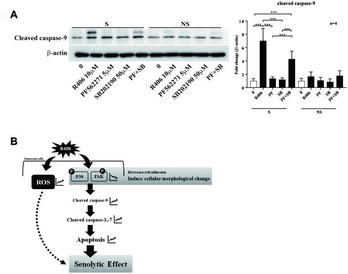 R406 induces senolytic effects via blocking the phosphorylation of p38 MAPK and FAK simultaneously. ( A ) Senescent (S) and non-senescent (NS) HDFs were respectively treated with DMSO, R406 (10 μM), PF562271 (5 μM), and SB202190 (50 μM) for one day and then western blot assay with anti-caspase-9 antibody was conducted to determine apoptosis. ( B ) Proposed mechanism of senolytic effect by R406. R406-induced cell death is mediated by inhibiting FAK and p38 activity as well as increasing ROS. *p