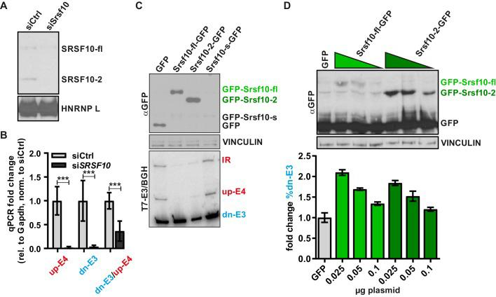 Srsf10 autoregulates its own splicing. ( A, B ) Confirmation of the Srsf10 knockdown. In ( A ) SRSF10 protein levels were investigated by Western Blot using an SRSF10-specific antibody. Note that both SRSF10 variants (fl and −2) are strongly reduced. The remaining signal for SRSF10-fl could indicate some unspecific detection of a different (SR)-protein. HNRNP L served as a loading control. In ( B ) confirmation of the Srsf10 knockdown on mRNA level is shown. The expression of the different Srsf10 isoforms is shown relative to Gapdh and control siRNA (n ≥ 6, mean ± SD). Note the reduced dn-E3/up-E4 ratio after knockdown of Srsf10. ( C ) Overexpression of SRSF10 variants as in Figure 1C . Top: Overexpression of the SRSF10 variants was investigated with an antibody detecting the GFP epitope. SRSF10-s was not detectably expressed. VINCULIN served as a loading control. Bottom: Representative image of splicing analysis of co-transfected minigenes. ( D ) Dose-dependent Srsf10 autoregulation. HeLa cells were cotransfected with the minigene, decreasing amounts of SRSF10-fl or −2 (0.1, 0.05, or 0.025 µg plasmid) and adjusted amounts of GFP. Expression was confirmed using an antibody against GFP (top). Note the higher expression levels of SRSF10-2. VINCULIN served as a loading control. Bottom: Splicing analysis of cotransfected minigenes (n = 2, mean ± SD). Note that barely detectable amounts of SRSF10 already change splicing with a stronger effect of SRSF10-fl, especially prominent given the lower expression level of this variant.