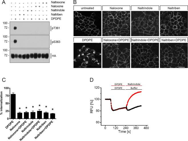 Antagonist-selective inhibition of DPDPE-induced DOP receptor phosphorylation, internalization and G protein signaling. ( A ) Stably HA-hDOP receptor-expressing HEK293 cells were either not preincubated (−) or preincubated (+) with 5 µM naloxone, naltrindole, naltriben or naltrexone for 30 min at 37 °C, then stimulated with vehicle (water, -) or with 1 µM DPDPE (+) for 10 min at 37 °C. Cell lysates were then immunoblotted with antibodies to pT361 or pS363. Blots were stripped and reprobed with the anti-HA antibody. Blots are representative, n = 4. (B) Cells described in ( A ) were preincubated with anti-HA antibody and then treated with vehicle (DMSO), 5 µM naloxone, naltrindole or naltriben and with or without 1 µM DPDPE for 10 min at 37 °C. After fixation, cells were permeabilized, immunofluorescently stained and examined using confocal microscopy. Images are representative, n = 3. Scale bar, 20 µm. (C) Cells described in ( A ) were preincubated with anti-HA antibody and stimulated with vehicle (DMSO), 5 µM naloxone, naltrindole or naltriben and with or without 1 µM DPDPE for 10 min at 37 °C. Cells were then fixed and labeled with a peroxidase-conjugated secondary antibody. Receptor internalization was measured by ELISA and quantified as percentage of internalized receptors in agonist-treated cells. Data are means ± SEM from five independent experiments performed in quadruplicate. *p