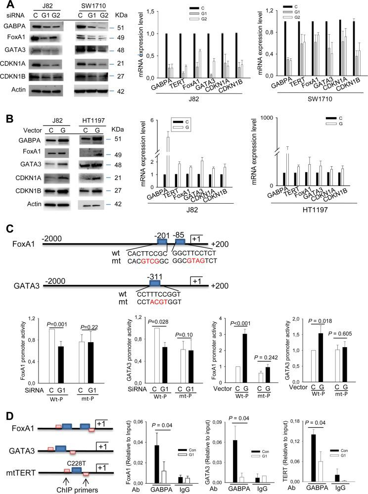 GABPA regulates FoxA1 and GATA3 expression at transcriptional levels. Three independent experiments were performed. Bars: SD. a Downregulation of FoxA1 and GATA3 expression and their targets in BC cells depleted of GABPA. J82 and SW1710 cells were treated with two different GABPA siRNAs for 48 h and then analyzed for target gene expression at mRNA and protein levels. b Enhanced expression of FoxA1 and GATA3 in BC cells with GABPA overexpression. Ectopic GABPA was introduced into J82 and HT1197 cells and the target gene expression was then determined. c GABPA regulation of FoxA1 and GATA3 promoter activity. The upper panel: schematic presentation of FoxA1 and GATA3 promoters and locations of putative GABPA-binding motifs. The mutation of putative GABPA-binding motifs is marked in red. The bottom panel: GABPA depletion leads to the decline in wt but not mt promoter activity, while its overexpression promotes wt but not mt promoter activity. d The GABPA occupancy on FoxA1 and GATA3 promoter regions. Chromatin immunoprecipitation (ChIP) was performed to determine the presence of GABPA on the FoxA1 and GATA3 promoters. The TERT promoter with C228T was used as a positive control. Left: schematics of the GABPA-binding sites and primer locations in the promoter regions of TERT , FoxA1 , and GATA3 genes. Right: qPCR assessment of GABPA bound-promoter sequences in J82 cells treated with control or GABPA siRNA. C Control siRNA or vector, G1 and G GABPA siRNA and expression vector, respectively