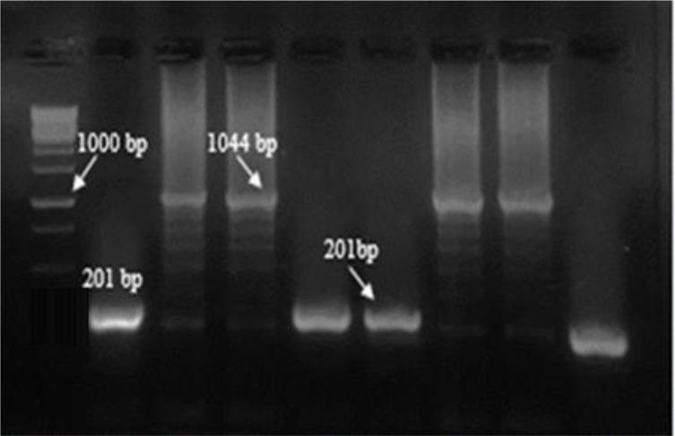 PCR results of screening of cloned plasmids after ligation into pCR®-TOPO® with M13 primers Left to right: M, molecular-weight standard 1kbp; lanes 3, 4,7,8 cloned plasmids for k39, respectively; lanes 2, 5,6 non-cloned plasmids; lane 9, Negative control