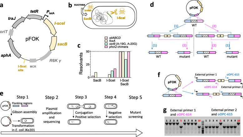 An optimized method for genome editing in Salmonella enterica . a Map of suicide plasmid pFOK ( aphA , aminoglycoside phosphotransferase gene conferring resistance to kanamycin ; I-sceI gene encoding meganuclease; oriT , origin of conjugational transfer; P tetA , tetA promoter; R6K γ ori , pi-dependent origin of replication; sacB , levansucrase gene; tetR , tetracycline repressor gene; traJ , transcriptional activator for conjugational transfer genes; MCR, multi cloning region containing EcoRI and BamHI recognition sites). b Mechanisms of negative selection for SacB and I-SceI, c Efficiency of negative selection for various chromosomal loci ( sitABCD deletion - orange, foxA deletion - yellow, ssrB point mutation – green, and phoQ chimeric insertion - magenta [ 30 ]) using either SacB or I-SceI, or a combination of both. Fifty colonies were screened for each mutation. d Schematic representation of the consecutive single crossover procedure. Recombination can occur in one of the two homologous sequences (routes 1 and 2). Only alternate single crossover events involving both homologous sequences lead to the desired mutation, while two consecutive single crossovers in the same regions lead to reversion to wild-type (WT) e Overview of the entire procedure. Ideally, each step can be completed in one working day. f Schematic representation of preferential recombination in the right flanking region. External primers 1 and 2 together with plasmid-specific primers oOPC-614 and oOPC-615 can be used to screen co-integrant clones to reveal such bias and to identify rare variants for promoting mutant generation in the second single crossover. g Recombination bias for foxA deletion. PCR results of ex-conjugant screening using external primer 1 (oOPC-396) / oOPC-614 or external primer 2 (oOPC-397) / oOPC-615. Rare ex-conjugants (clones 5, 10) with recombination in the non-preferred flanking region were used for subsequent counter-selection