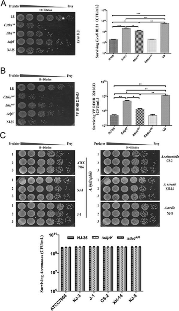 """Tle1 AH is required for the interbacterial antagonism of A. hydrophila NJ-35. Predator and prey cells at a ratio of 5:1 were cocultured to assay the recovery of surviving prey cells by determining colony forming unit (CFU). A. hydrophila NJ-35 and its mutant derivatives ∆ clpV , ∆ tle1 AH or C∆ tle1 AH were used as the predator strains. ClpV , which encodes a putative ATPase required for T6SS function, was deleted to construct the T6SS − strain (∆ clpV ). """"LB"""" indicates incubation of E. coli with sterile LB medium alone and serves as the control. A E. coli BL21 as the prey strain. B V. parahaemolyticus RIMD 2210633 as the prey strain. C Aeromonas strains as the preys, including A. hydrophila strains ATCC 7966, J-1 and NJ-3, A. sobria CS-2, A. media NJ-8 and A. veronii XH-14. Lane 1, the wild-type A. hydrophila NJ-35; Lane 2, ∆ clpV (T6SS − ); Lane 3, ∆ tle1 AH . Data are presented as the mean ± standard deviation (error bars) of three independent experiments. *** P"""