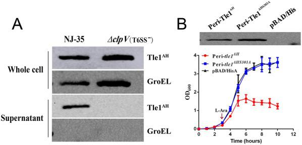 Tle1 AH is a phospholipase effector secreted by T6SS of A. hydrophila NJ-35 . A T6SS-dependent secretion of Tle1 AH was confirmed by Western blot on whole cells and supernatants of A. hydrophila NJ-35 and the ∆ clpV strain. ClpV , which encodes a putative ATPase required for T6SS function, was deleted to construct the T6SS − strain (∆ clpV ). The anti-His antibody was used to measure the production of Tle1 AH and anti-GroEL antibody served as an internal reference. GroEL: heat shock protein Hsp60. B Growth of E. coli TOP10 producing peri-Tle1 AH and peri-Tle1 AHS303A in LB broth. pBAD/His was used for construction of the expression vectors for tle1 AH and its point mutant tle1 AHS303A (the catalysis site of Tle1 AH at position 303 mutated from serine to alanine). To achieve periplasmic localization, the PelB leader sequence was fused in front of the tle1 AH and tle1 AHS303A . Cultures were induced by l -arabinose ( l -Ara) at the indicated time by the arrow. A growth curve was drawn by measuring the OD 600 every 30 min. Data are presented as the mean ± standard deviation (error bars) of three independent experiments. The expression of peri-Tle1 AH and peri-Tle1 AHS303A was detected in E. coli TOP10 by Western blot using anti-His antibody.