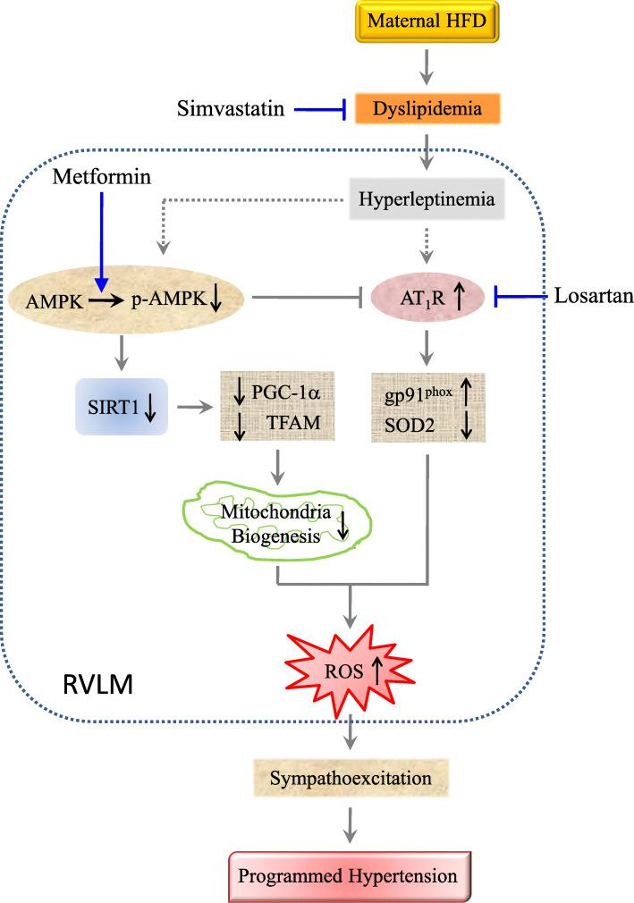 Schematic depiction of the contribution of AMPK/SIRT1 signaling in RVLM to oxidative stress-associated programming of hypertension in young offspring exposed to maternal high fructose. Circulatory dyslipidemia programmed by maternal HFD exposure during gestation and lactation increases leptin level, which may in turn increase AT 1 R expression and inhibit AMPK phosphorylation in RVLM. AT 1 R overexpression leads to tissue oxidative stress via an increase in gp91 phox and decrease in SOD2 expression. Suppressed AMPK activation results in inhibition of SIRT1 expression and its downstream signals, PGC-1α and TFAM, followed by tissue oxidative stress through the reduction in mitochondrial biogenesis. Suppressed AMPK activation also augments AT 1 R expression that promotes further oxidative stress. Accumulated ROS in RVLM contributes to the programmed hypertension in young HFD offspring via sympathoexcitation. The hypertension programming in HFD offspring could be protected by treatments with simvastatin to reduce dyslipidemia and hyperleptinemia; metformin to activate the AMPK/SIRT1 signals, and losartan to antagonize AT 1 R activation in RVLM. Arrows indicate activation; bar-headed lines indicate inhibition. Solid line denotes data from the present study or existing literature; dotted line denotes potential connections that require further documentation