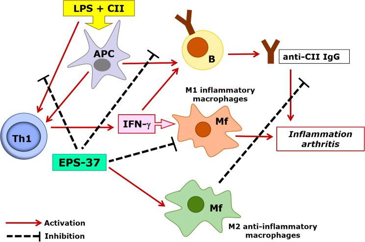 Hypothetical model of EPS-37 modulation of immune response in the course of CIA. Purified EPS-37 inhibits T-cell proliferation and a production of IFN-γ. Such action favors M2 macrophage polarization (an anti-inflammatory effect) and facilitates suppression of arthritogenic CII-specific IgG (T cell-dependent humoral response). Suppression = hash mark, Activation = solid line
