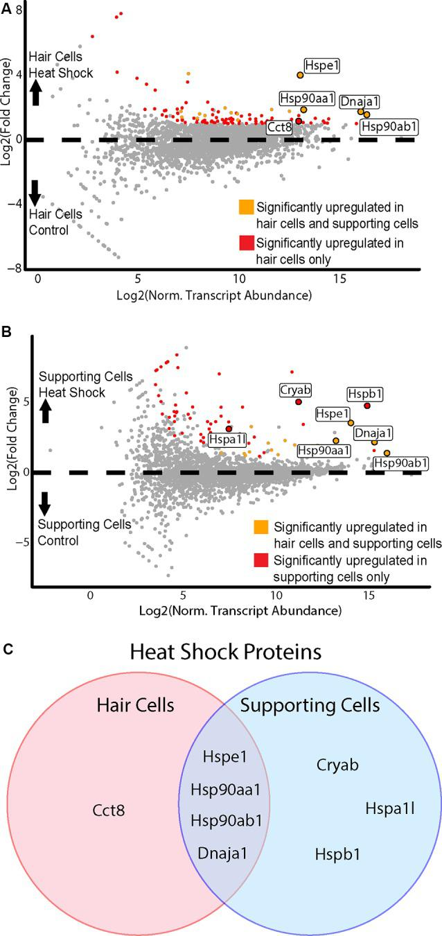 HCs and SCs demonstrate differential transcriptional responses to heat shock. (A) Hair cell response to heat shock. Scatterplot shows Log 2 FC values vs. normalized transcript abundance for the heat shock Gfi1-Cre IP group vs. the control Gfi1-Cre IP group. DEGs identified in both HCs and SCs are shown in orange, and DEGs identified uniquely in HCs are shown in red. Enriched HSPs are labeled and colored accordingly. (B) Supporting cell response to heat shock. Scatterplot shows Log 2 FC values vs. normalized transcript abundance for the heat shock GLAST-CreER IP group vs. the control GLAST-CreER IP group. DEGs identified in HCs and SCs are shown in orange, and DEGs identified uniquely in SCs are shown in red. Enriched heat shock proteins (HSPs) are labeled and colored accordingly. (C) Heat shock responses in HCs vs. SCs. Venn diagram illustrates the HSP transcripts significantly enriched in HCs and SCs after heat shock. Four DEGs were common between the two cell types and are members of the HSP90, HSP10, and HSP40 families. One DEG ( Cct8 ) was upregulated only in HCs and is a member of the chaperonin/CCT family. Three DEGs were upregulated only in SCs ( Cryab , Hspa1l, Hspb1 ) and are members of the HSP20, HSP70, and HSP27 families.