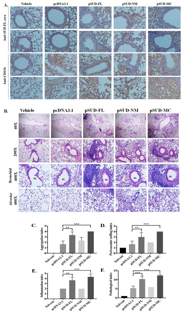 Histopathological changes in the lung tissues of the wild type mice intratracheally instilled with pSUD-FL, pSUD-NM, and pSUD-MC. The sections of the lung tissues from the instilled mice were performed using immunohistochemistry staining with anti-SARS-CoV SUD (( A ), first and second rows), or anti-mouse CD11b (( A ), third and fourth rows), and biotinylated universal antibodies from a VECTASTAIN ® Elite ® ABC Universal Kit ( A ). The sections were also assessed with H E staining, which the wide range of lung tissues was observed by a light microscope at 40× and 200× magnification (( B ), first and second rows); inflammatory cells infiltrated around the peribranchial and perivascular, and cell accumulation in alveolar space were examined using a light microscope at 400× magnification (( B ), third and fourth rows). The indices of histopathological changes in aggregation ( C ), perivascular cuffing ( D ), inflammation ( E ), and pathological index ( F ) were scored based on the degree of lesions ranged from one to five depending on severity: 1 = minimal (
